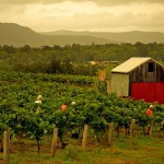 Hunter Valley Wine Country, Around Hermitage, Pokolbin